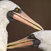 Masked Booby Couple Allopreening Poster
