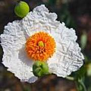 Matilija Poppy Buds And Bloom Poster