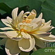Mature Lotus Flower And Cute Hovering Honeybee Poster