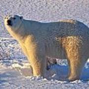 Mature Polar Bear Poster