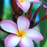 Maui Plumeria Poster