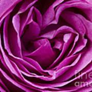 Mauve Rose Petals Poster