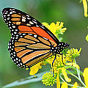 Meadow Monarch Poster