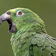 Mealy Parrot Amazona Farinosa Calling Poster