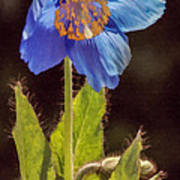 Meconopsis Himalayan Blue Poppy Poster