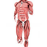 Medical Illustration Of Male Muscles Poster