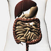 Medical Illustration Showing The Human Poster