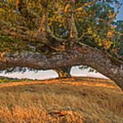Medusa Oak Poster