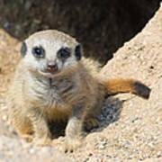 Meerkat Baby Poster