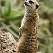 Meerkat Mongoose Portrait Poster