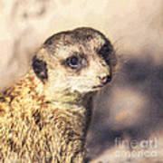 Meerkat Suricata Suricatta Poster