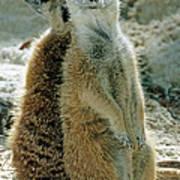 Meerkats Suricata Suricatta Poster