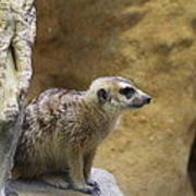 Meerket - National Zoo - 01135 Poster by DC Photographer