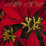 Mele Kalikimaka - Poinsettia  - Euphorbia Pulcherrima Poster