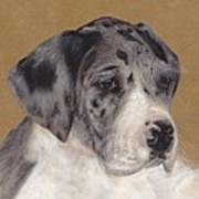 Merle Great Dane Puppy Poster