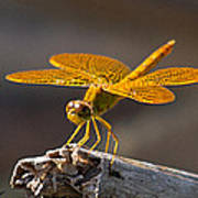 Mexican Amberwing Poster