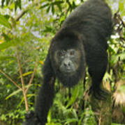 Mexican Black Howler Monkey Belize Poster