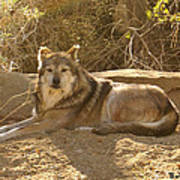 Mexican Wolf Close Up Poster