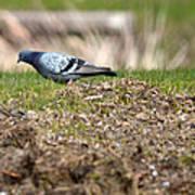Michigan Rock Pigeon Poster
