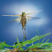 Migratory Locust Flying Poster