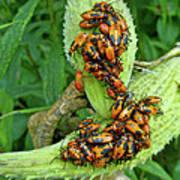 Milkweed Bug Nymphs - Oncopeltus Fasciatus Poster