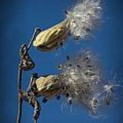 Milkweed Pods On A Blue Background  Poster