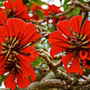 Milkwood Tree Blossoms In Donkin Reserve In Port Elizabeth-south Africa Poster