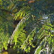 Mimosa At Sunset Poster