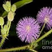 Mimosa Pudica  Poster