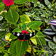 Mindo Butterfly At Rest Poster by Al Bourassa
