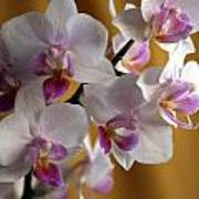 Mini Orchids 12 Poster