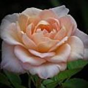 Mini Rose Poster