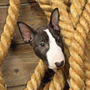 Miniature Bull Terrier Puppy Poster