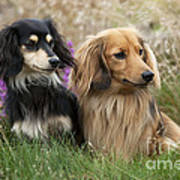 Miniature Long-haired Dachshunds Poster
