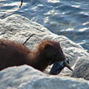 Mink with a Round Goby Poster