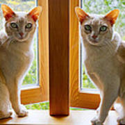 Mirrored Cats Poster