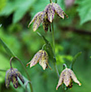 Mission Bells  Fritillaria  Grow Poster