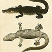 Mississippi Alligator Poster