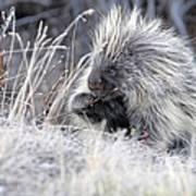 Mister Porcupine - Denali Alaska Poster