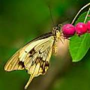 Mocker Swallowtail Butterfly And Berries Poster
