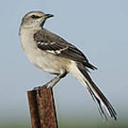 Mocking Bird On A Metal Post Poster