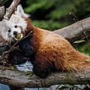 Mohu Eats Bamboo Poster