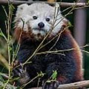 Mohu The Teenage Red Panda Poster