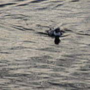 Moire Silk Water And A Long Tailed Duck Poster