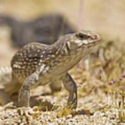 Mojave Desert Iguana Poster