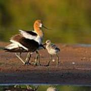 Mom And Baby Avocet Poster
