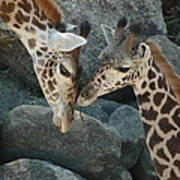 Mom And Baby Giraffe Poster
