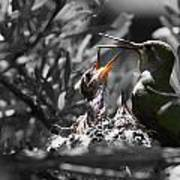 Momma Hummingbird Feeding Babies Poster by Old Pueblo Photography