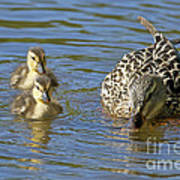 Momma Mallard And Her Ducklings Poster