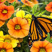 Monarch Among The Flowers Poster